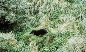 adult mountain tapir