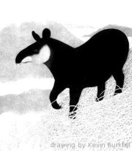Adult mountain tapir,